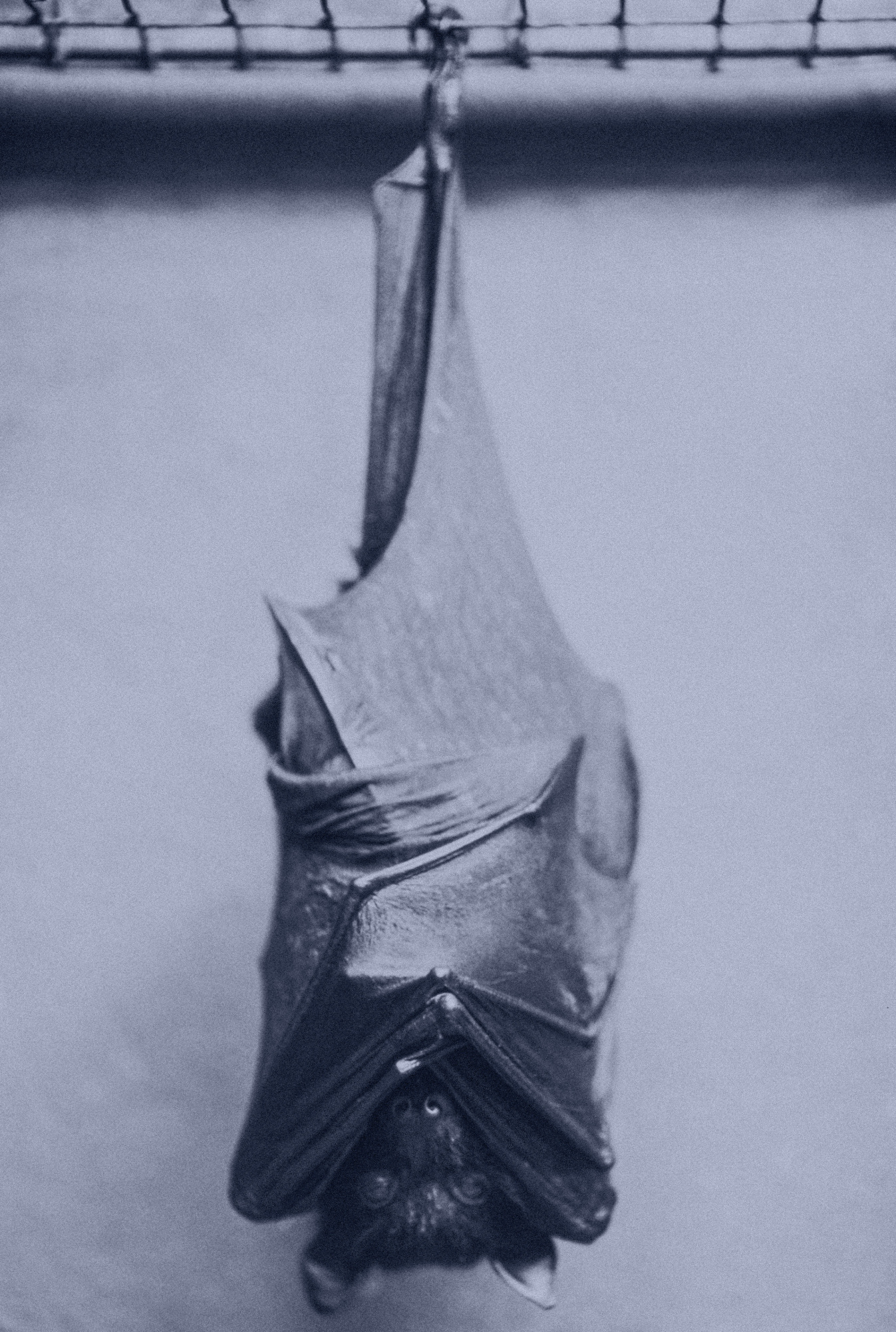 Bat Hanging in Cage